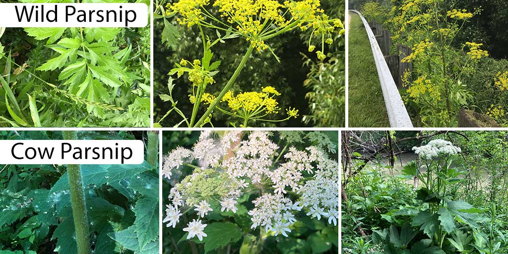 Cow-and-Wild-Parsnip-Twitter-General