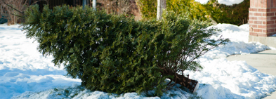 Register for curbside Christmas tree pick up.