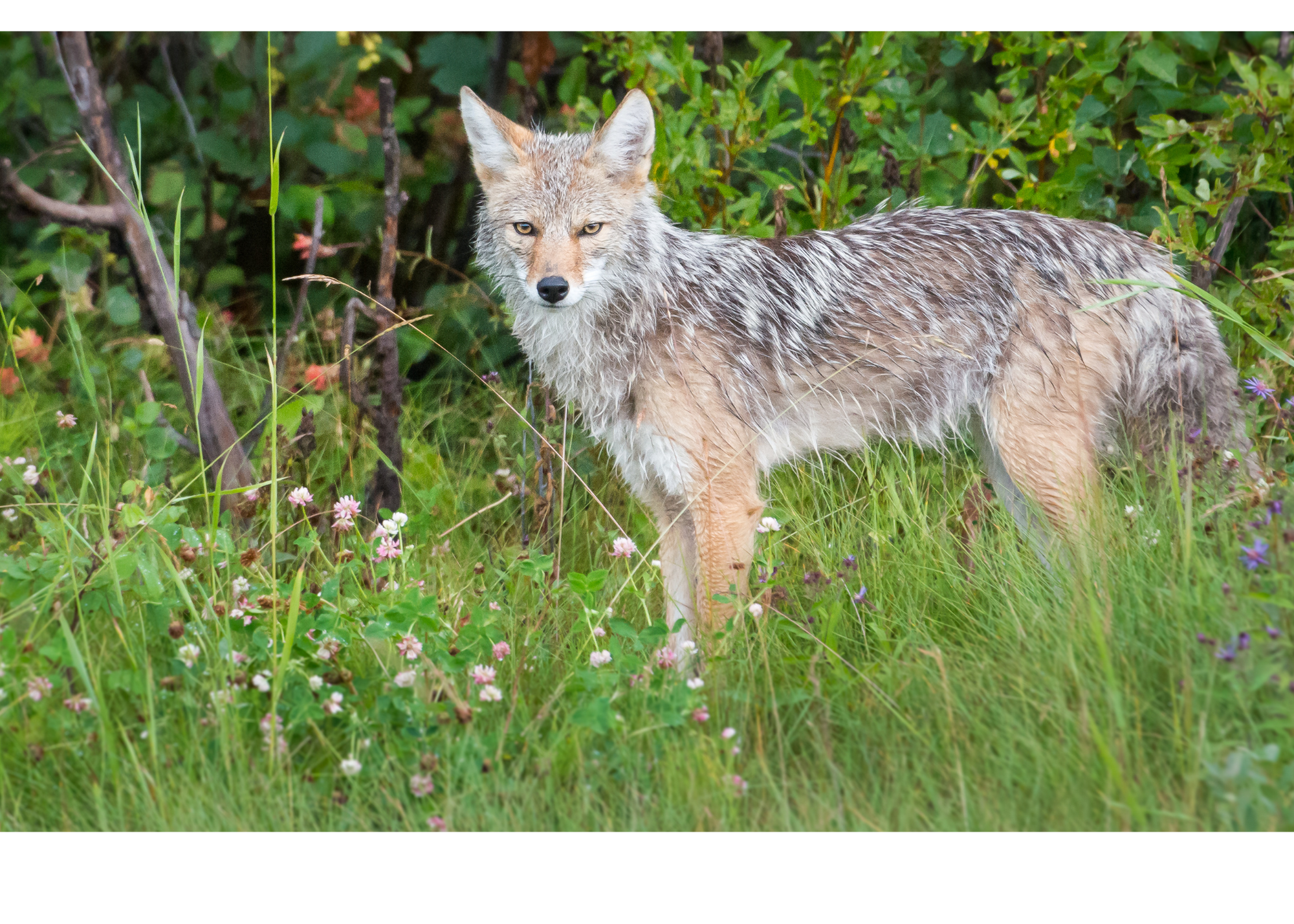 image of a coyote